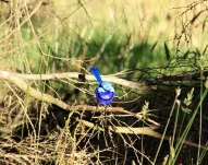 Blue Fairy Wren, Sid's Campground Northcliffe