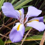 Be quick or you miss it...flowering Iris?