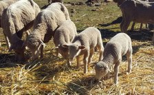 Some of the new lambs