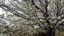 Manchurian Pear blossums