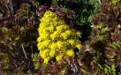 Succulent flowers