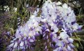 Beautiful Wisteria flowers