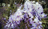 Beautiful Wisteria flowers