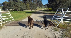 Jeda & mate smell sheep!