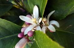 Citrus trees in flower