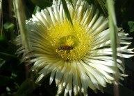 Pigface & resident bee