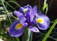 Flowering Iris