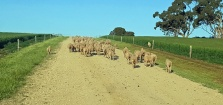 Moving the sheep up the driveway