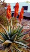 Flowering cactus near our van