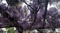 Wisteria canopy (g8 for hayfever!)