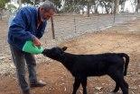 B feeding calf