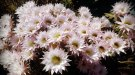 Masses of cactus flowers