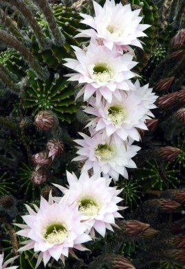 More cactus flowers...