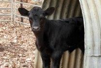 Little orphan calf