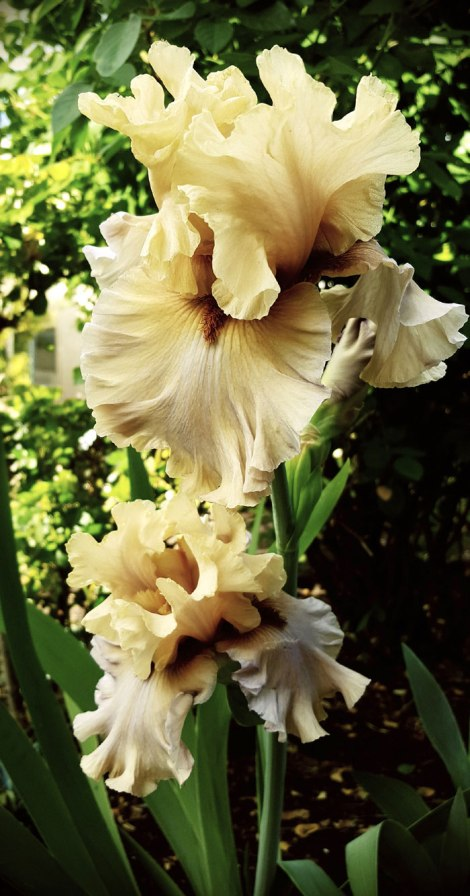 Had a good show of these Bearded Iris