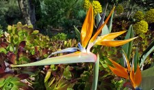 Strelitzia in flower (Bird of Paradise)