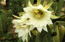 MORE cactus flowers...this time different type