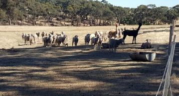 The livestock
