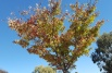 Start of leaves turning in driveway, Japanese Elms