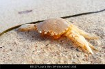 BS127-Laura-Bay-SA-deceased-crab