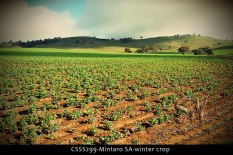 CSSS299-Mintaro-SA-winter-crop