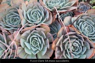 FL227-Clare-SA-mass-succulents