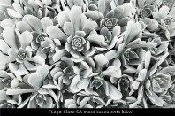 FL230-Clare-SA-mass-succulents-b&w