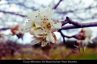 FL231-Mintaro-SA-Manchurian-Pear-blooms