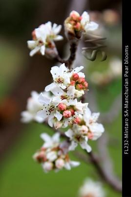 FL232-Mintaro-SA-Manchurian-Pear-blooms