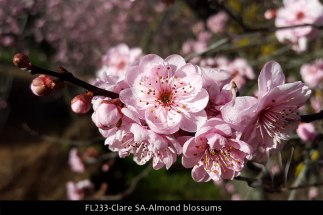FL233-Clare-SA-Almond-blossums
