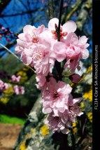 FL234-Clare-SA-Almond-blossums