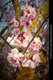 FL235-Clare-SA-Almond-blossums