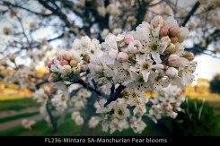 FL236-Mintaro-SA-Manchurian-Pear-blooms