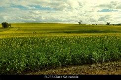 FL237-Clare-SA-canola