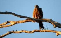 Juvenile Whistling Kite @ Lake Victoria