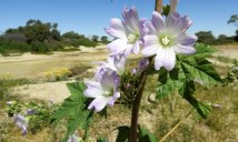 Flowers on the Diamantina River