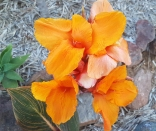 I have 3 of these Canna plants all flowering now!