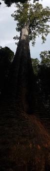 Burrawan State Forest - Bottlebutt