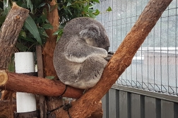 Koala Hospital, patient