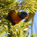 Heaps of lorikeets