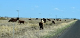 Cattle grazing by the road outside Dalby, Qld