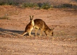 Thallon - Sunrise, roo family feeding