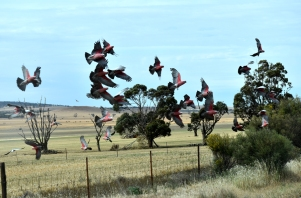 Close call with a flock of galahs!