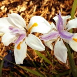 First flowers on Iris?