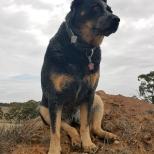 Jeda on guard watching over sheep