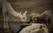 Alpaca Asha & Hey-Ewe sharing