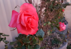 New pink rose