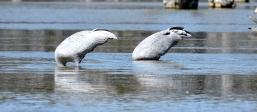 Lara Wetlands-Brolgas
