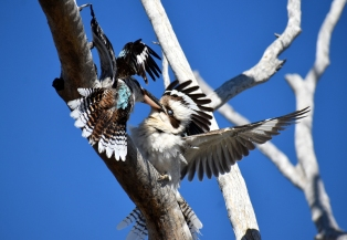 Lara Wetlands-fighting or mating??