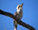Lara Wetlands-Kookaburra feeding
